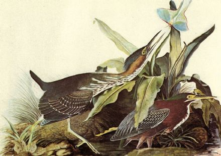 Audubon, John James: Green Heron. Ornithology Fine Art Print/Poster. Sizes: A4/A3/A2/A1 (001119)